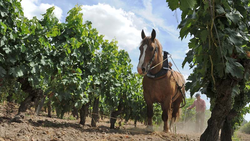 Horse-drawn ploughing in Bourgueil vineyards