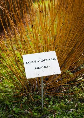 Willow tree: salix alba - French oisery