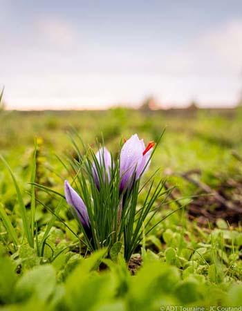Saffron - Loire Valley, France.