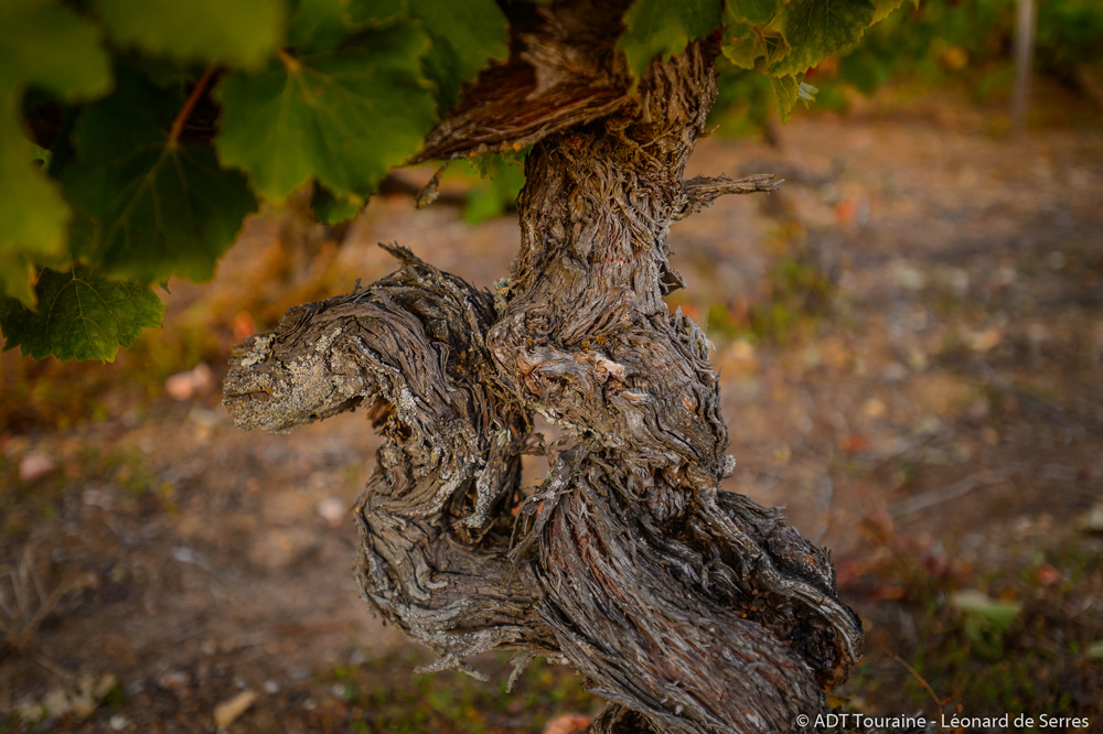 Chenin vine stock - Vouvray