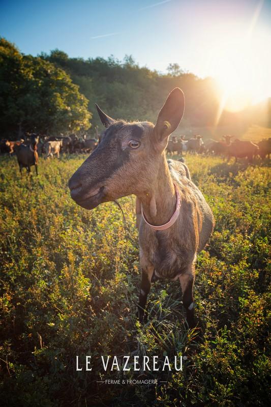 Goat cheese or goat's cheese, like sainte-maure-de-touraine, pouligny-saint-pierre, selles-sur-cher, valençay... - Le Vazereau, Loire Valley, France.