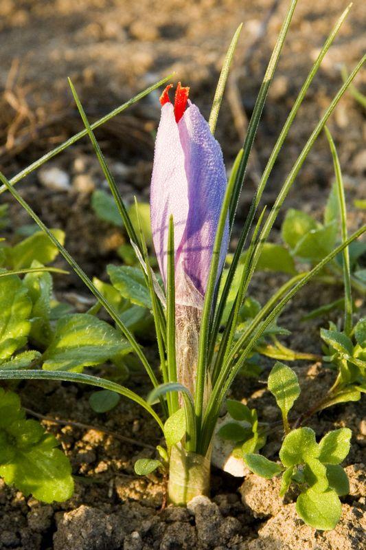 Safran de Val – Saffron farm-9