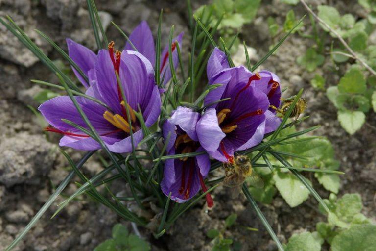 Safran de Val – Saffron farm-10