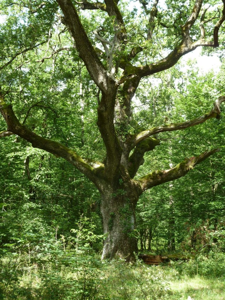 In the shade of ancient oaks-1