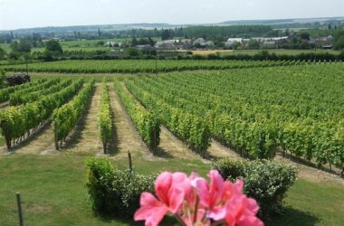 Vineyard of Panzoult (AOC chinon)